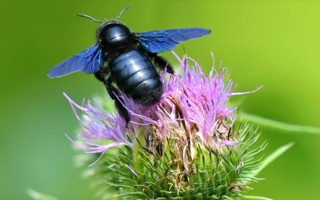 Abeilles domestiques versus abeilles sauvages