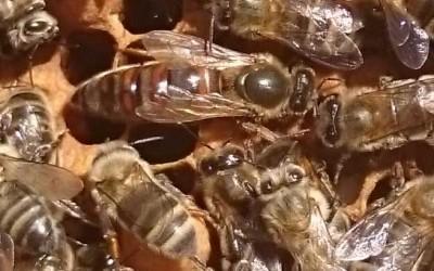 Rencontre avec la reine des abeilles