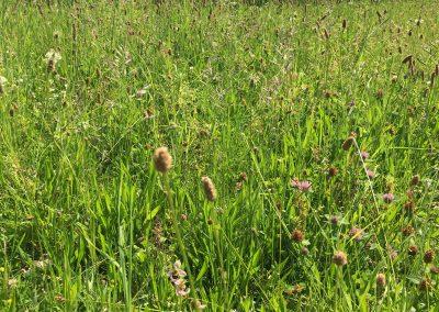 Ophrys abeille sur le rucher de SAMSE