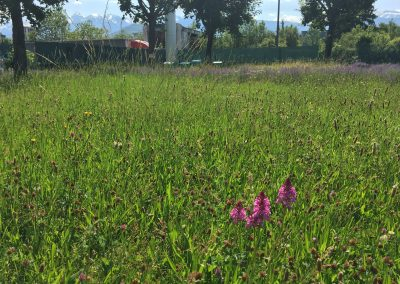 Orchis pyramidale sur le rucher de SAMSE