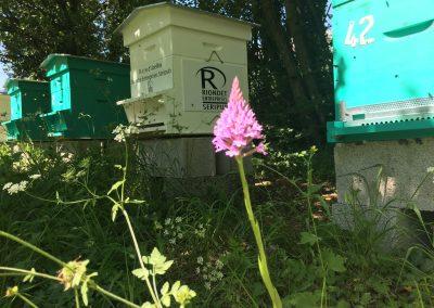 Orchis pyramidale sur le rucher de Bee Abeille à Claix