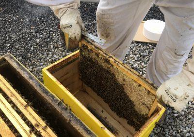 Transfert des abeilles