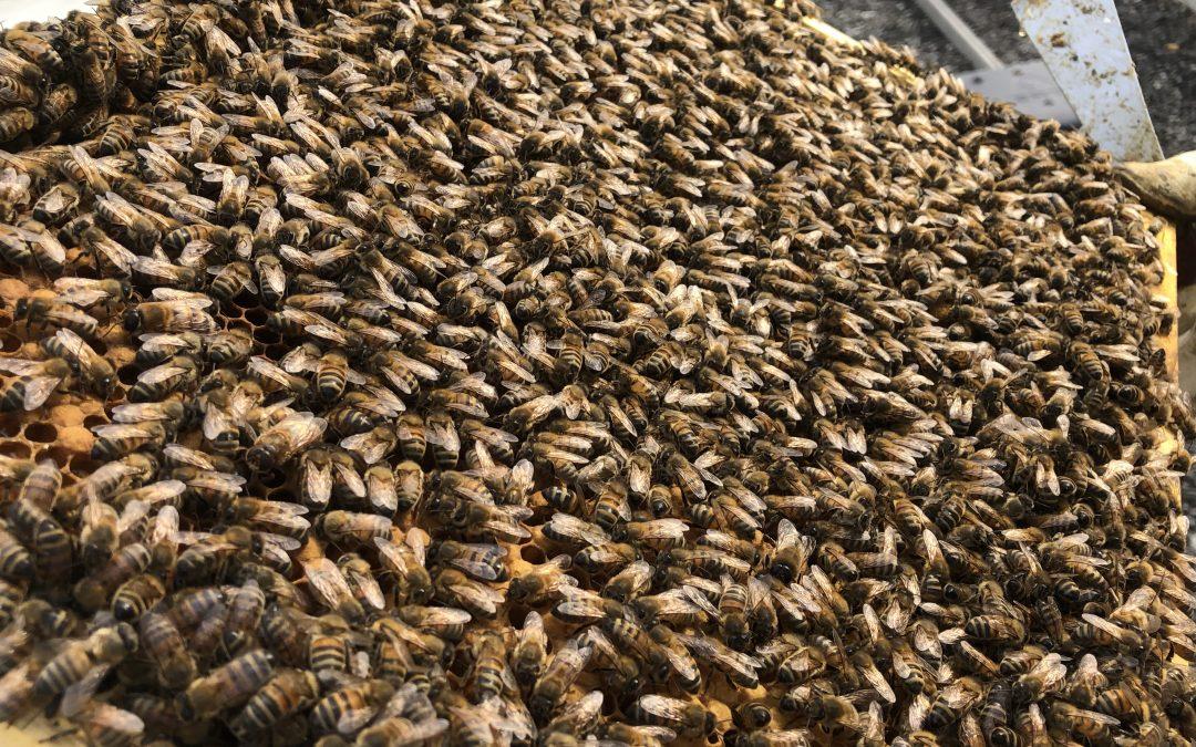 Division d'une ruche populeuse